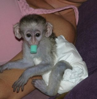 a...Male and female Capuchin monkeys for sale