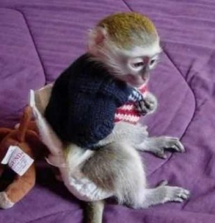 s...Male and female Capuchin monkeys for sale
