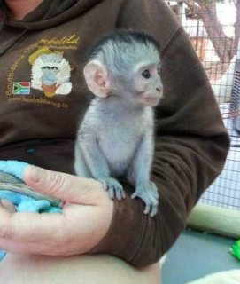 f...Male and female Capuchin monkeys for sale