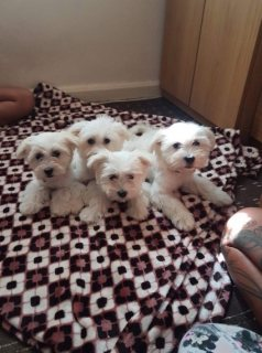 Maltese Puppies For Sale 3 Left