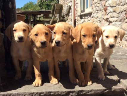Beautiful AKc Reg Labrador Puppies