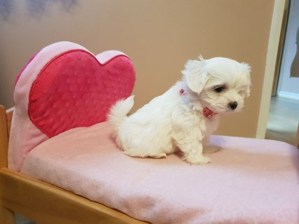 Adorable Maltese Puppies For Sale