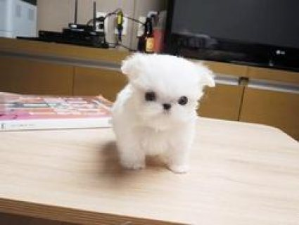 Cute male and female Pure white Maltese Puppies