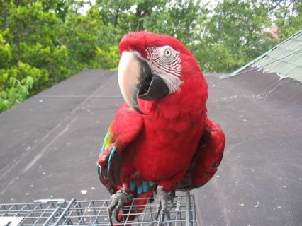 Beautiful tropical macaw for sale