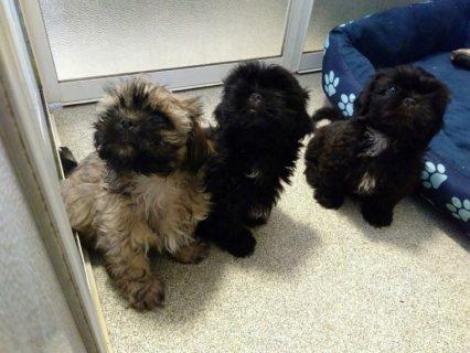 Pedigree Shih Tzu Puppies