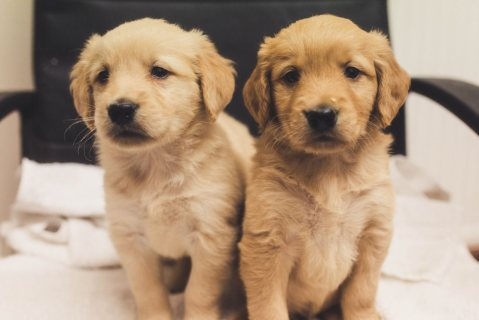 Healthy golden retriever puppies ready to leave, get new puppies here and now.o