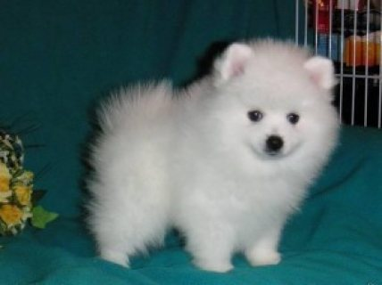 Cute Toy-Size Pomerania Puppies