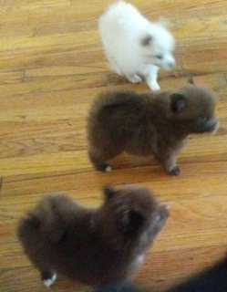 Pomeranian pups ready 4 forever homes