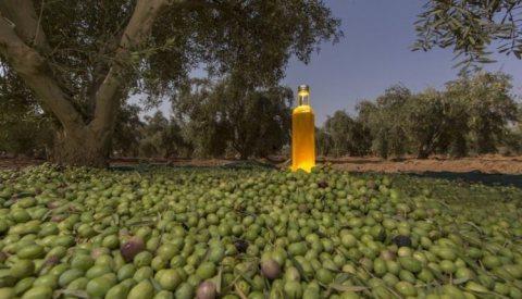 مزرعة للبيع 116 هكتار 4000 شجرة زيتون ....