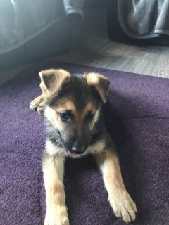 Full Pedigree German Shepherd Chunky Pup