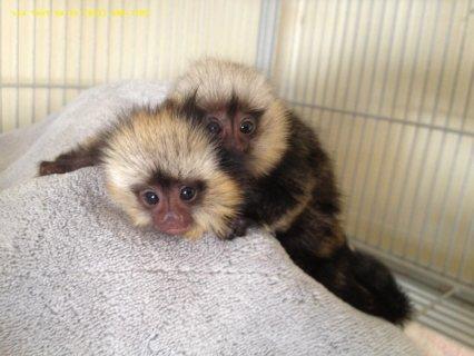 Lovely Marmoset Monkeys