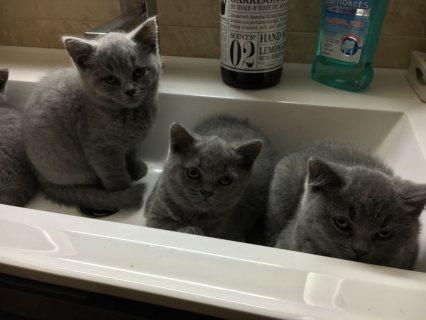 ذكر و أنثى للإناث القطط قصيرة الشعر للبيع