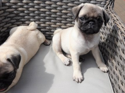Tiny Teacup Pug Puppies.