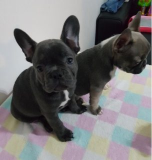 French bull dog male and female for sale