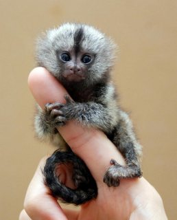 Pygmy Marmoset Monkey Available