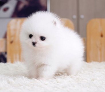 صور Pomeranian puppies 1