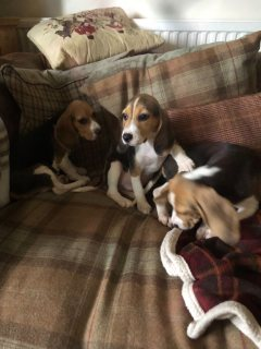 Beagle Pups Last Two Girls