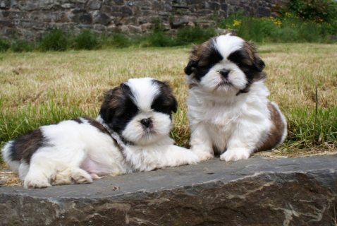 Beautiful Shih Tzu Puppies For Sale