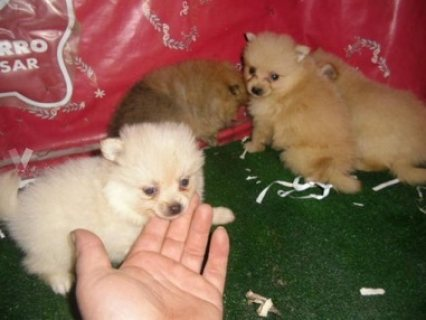 Happy Pomeranian puppies