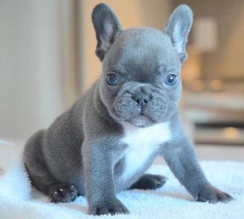 Excellent Blue French Bulldog Puppies