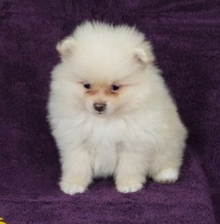 Healthy Pomeranian Puppies for a new family