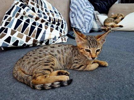 F1 Male and female Savannah Kittens