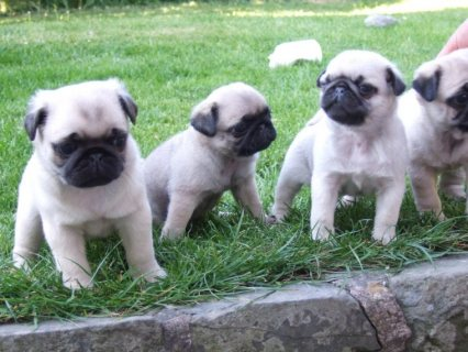 Fawn Pugs Puppies Available for Sale