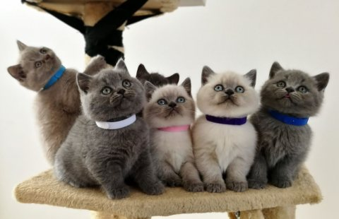 صور home trained male and female british shorthair kittens for sale 1