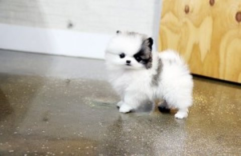 (FREE)Teacup Pomeranian Puppies for Adoption into Good homes Only