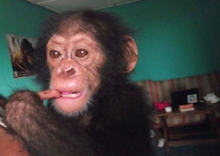 Affectionate and homely trained chimpanzee for sale