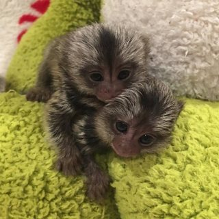 home trained marmoset monkeys for sale