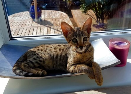 male and female f1 savannah kittens for sale