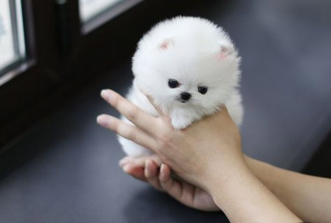 home trained male and female teacup pomeranian puppies for sale