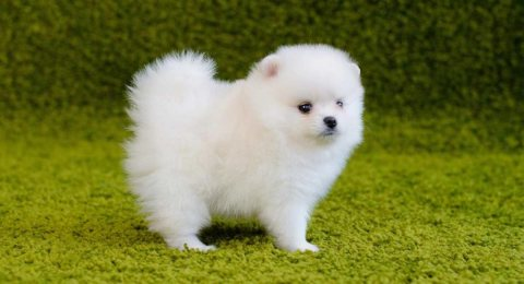 Pure breed Teacup Pomeranian white color is available