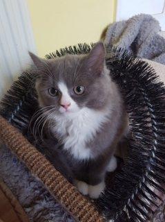 القطط الفارسية لطيف متاح حاليا للبيع