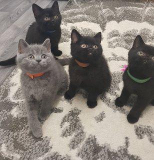 Blue British Shorthair Kittens for sale
