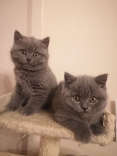 Two British Shorthair boys and Girls For Sale
