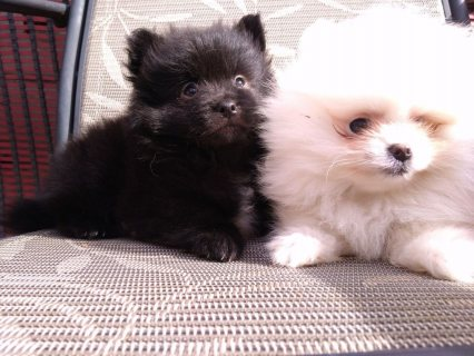 Purebred Pomeranian Puppies available For Sale