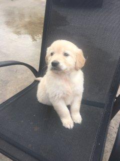 Excellent Golden Retriever Puppies whatsapp . +17249132010