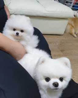 male and female white tea cup pomeranian puppies for sale