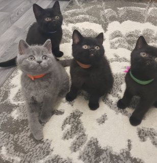 pure bred british shorthaired kittens for sale