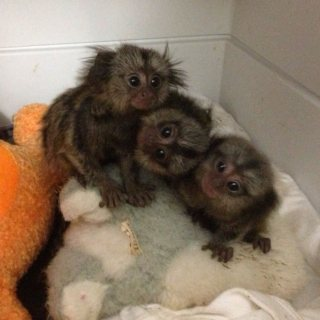 Hand Raised Marmoset Monkeys for sale.