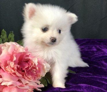 Milky Pomeranian Puppy Available