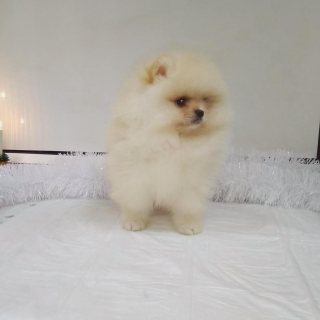 Awesome Pomeranian puppies for sale.