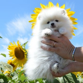 Beautiful snow white Pomeranian Puppies For Sale.