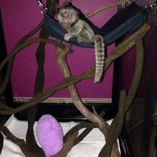 Adorable Marmoset Monkeys for sale.