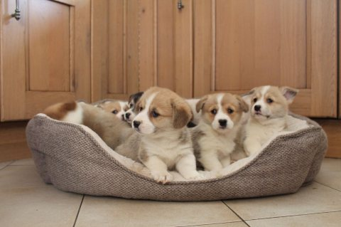 Beautiful Kc Registered Welsh Corgis