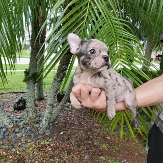 Merle French bulldog puppies available