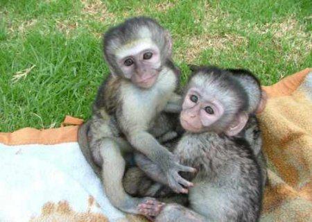 I need Monkey Pet