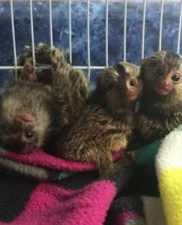 Baby Marmoset Monkeys available, 14 weeks old